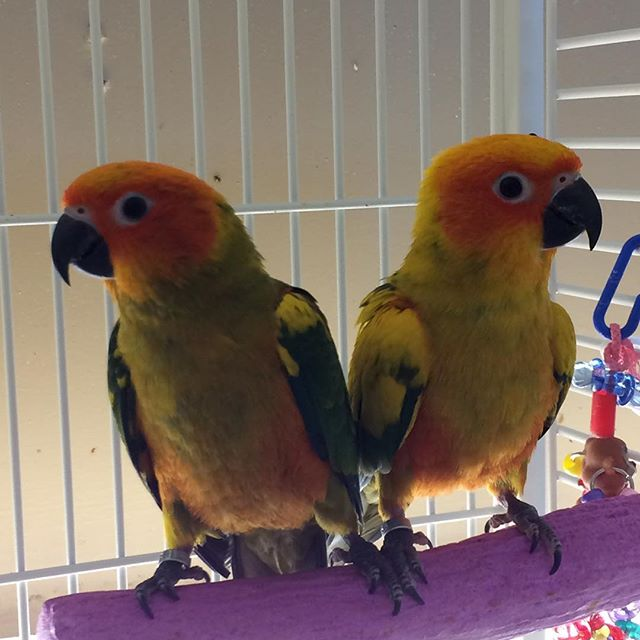 Baby sun conures still available. $495 e