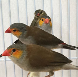 New finches and parakeets in!  #parakeet