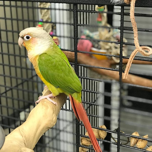 Just in...sweet handfed pineapple conure