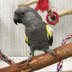 17 DNA Male _New budgies arrived _Blue c