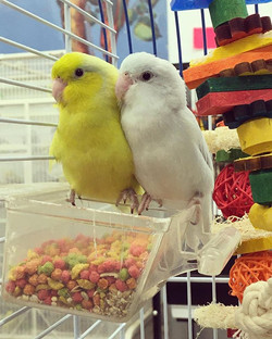 These 2 fancy parrotlets are still waiti