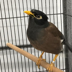 10 month old Common Mynah bird in stock!