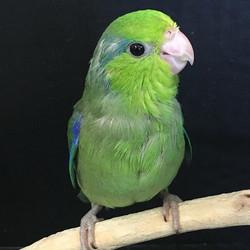 One green male Parrotlet SOLD#parrotlet