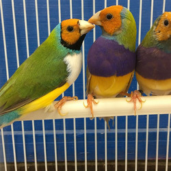 Stunning male Gouldian Finches back in s