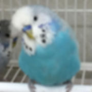 Stunning English Budgies. Perfect gift f
