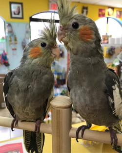Only two more baby tiels left!!! These b