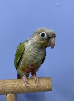 Cinnimon Green Cheek Conure