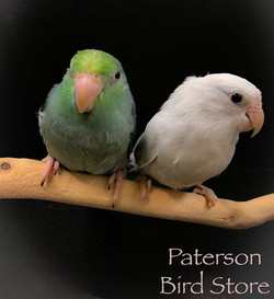 Fancy parrotlets now in, American white