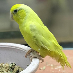 Baby female yellow parrotlet just in! #y