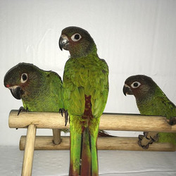 Three beautiful Rosie Frons conures, SOL