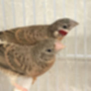 New exotic finches in stock! #firefinch