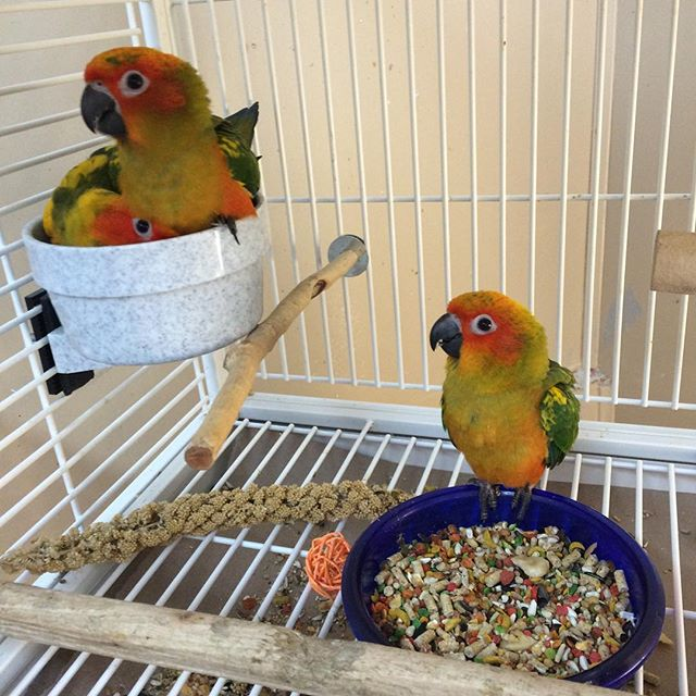 Baby sun conures for sale!.jpg