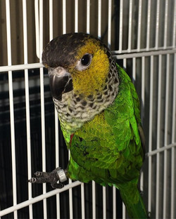 Baby black capped conure #537 hatched 5-
