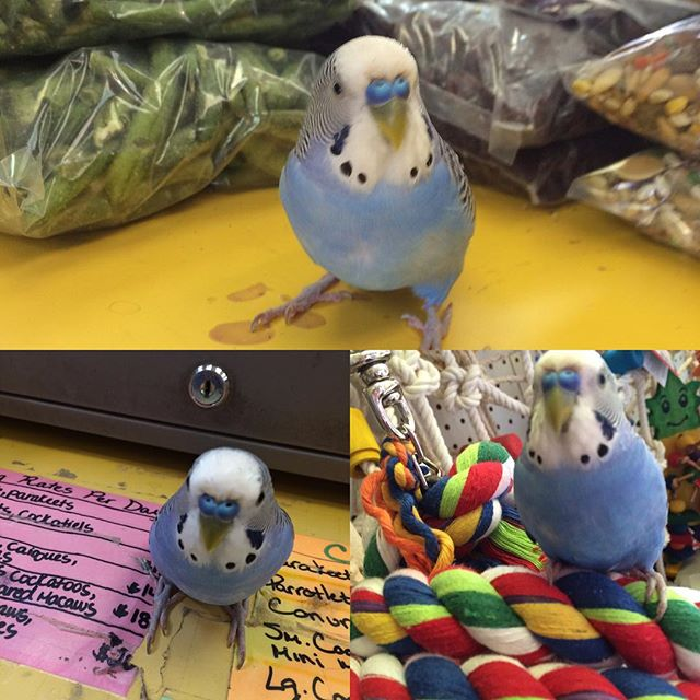 Happy Memorial Day! #Lenny #Parakeet _pa