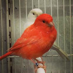 Stunning red factor canaries $119 #birds