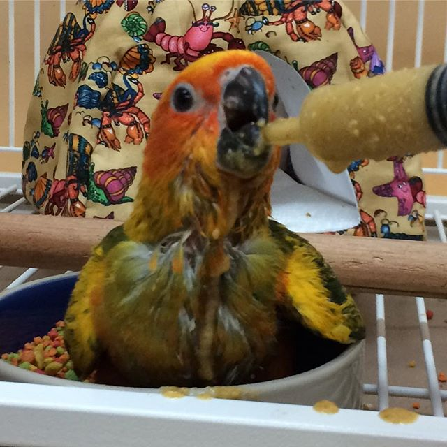 Beautiful baby sun conure just arrived.