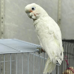 Meet Shelby, 4 year old goffin's cockato