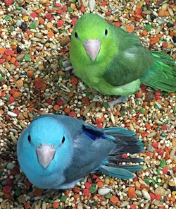 Hand fed baby Parrotlets! _Blue (Male) $