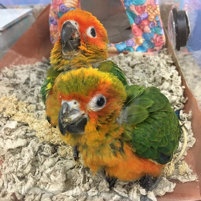 Baby sun conures still available!! #sunc