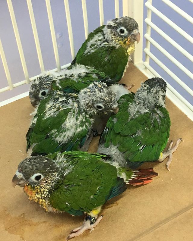 Just in! Baby yellow sided conures  #con