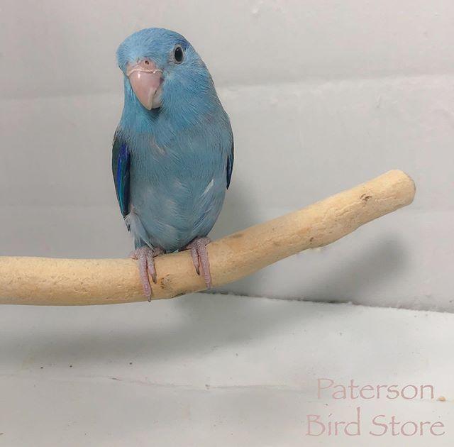 Baby parrotlets are in!_#parrotlets #par
