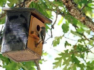 pied flycatcher, ficedula hypoeuca, natural population, bird, ecology