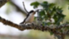 flycatchers-5.jpg