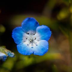 Spring Flower macro-Baby Blue Eyes3.jpg