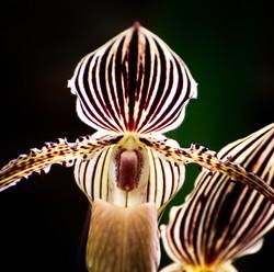 Lady Slipper Orchid (Paphiopedilum)