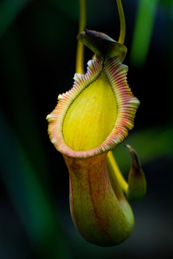 Pitcher plant (Nepenthes ventricosa)