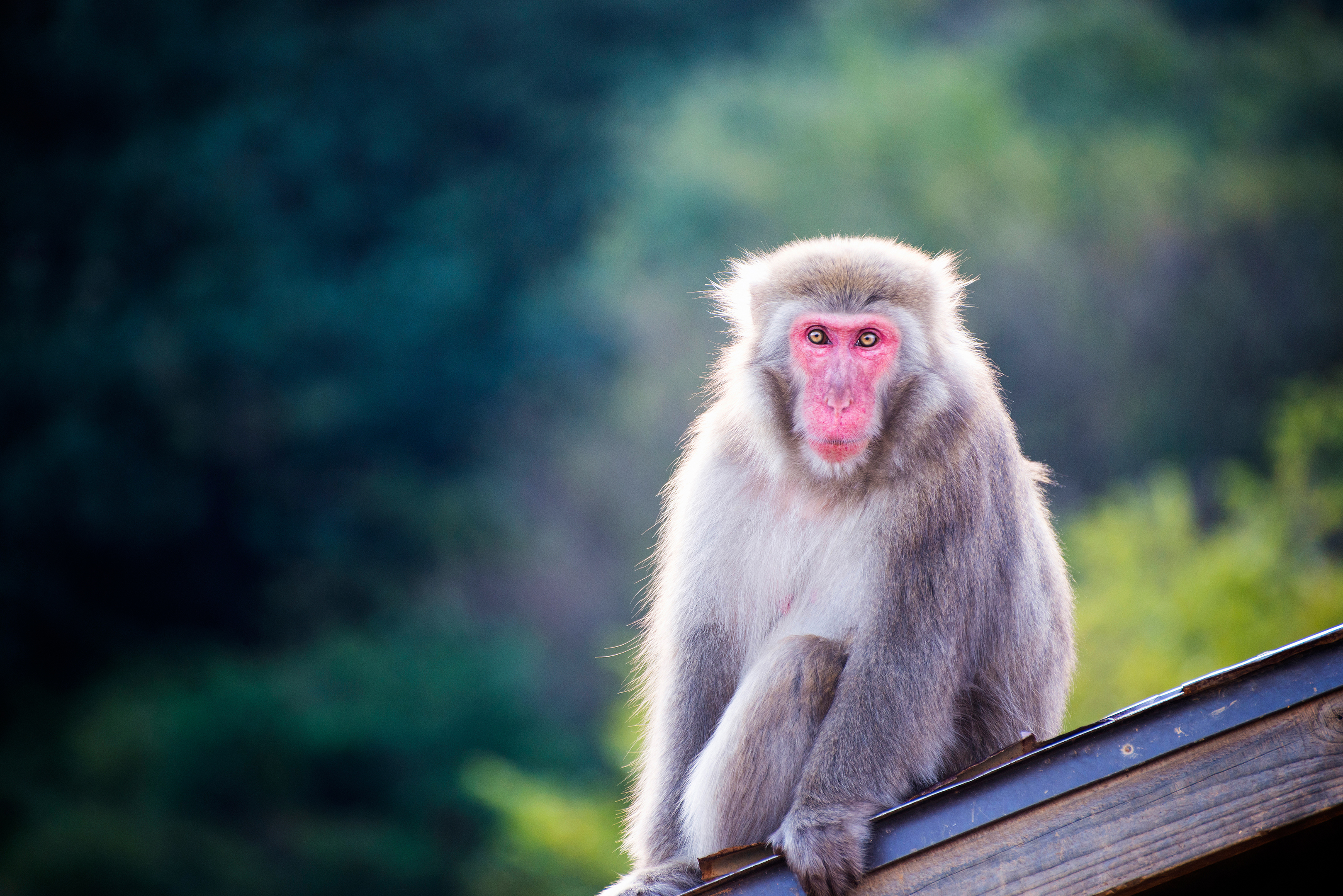Arashiyama Macaque
