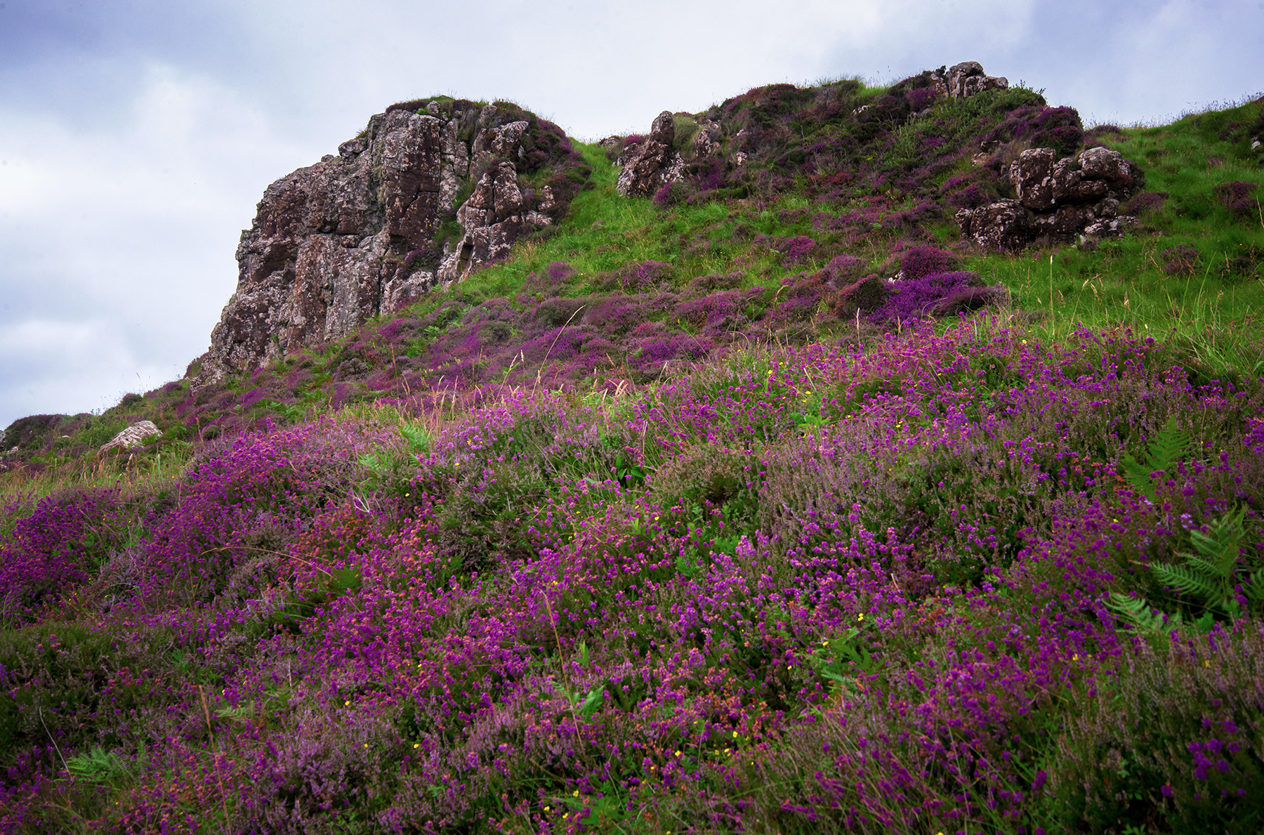 A hillside full of heather, Isle of Skye