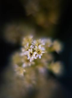 Spring Flower Macro-Baby's Breath4.jpg