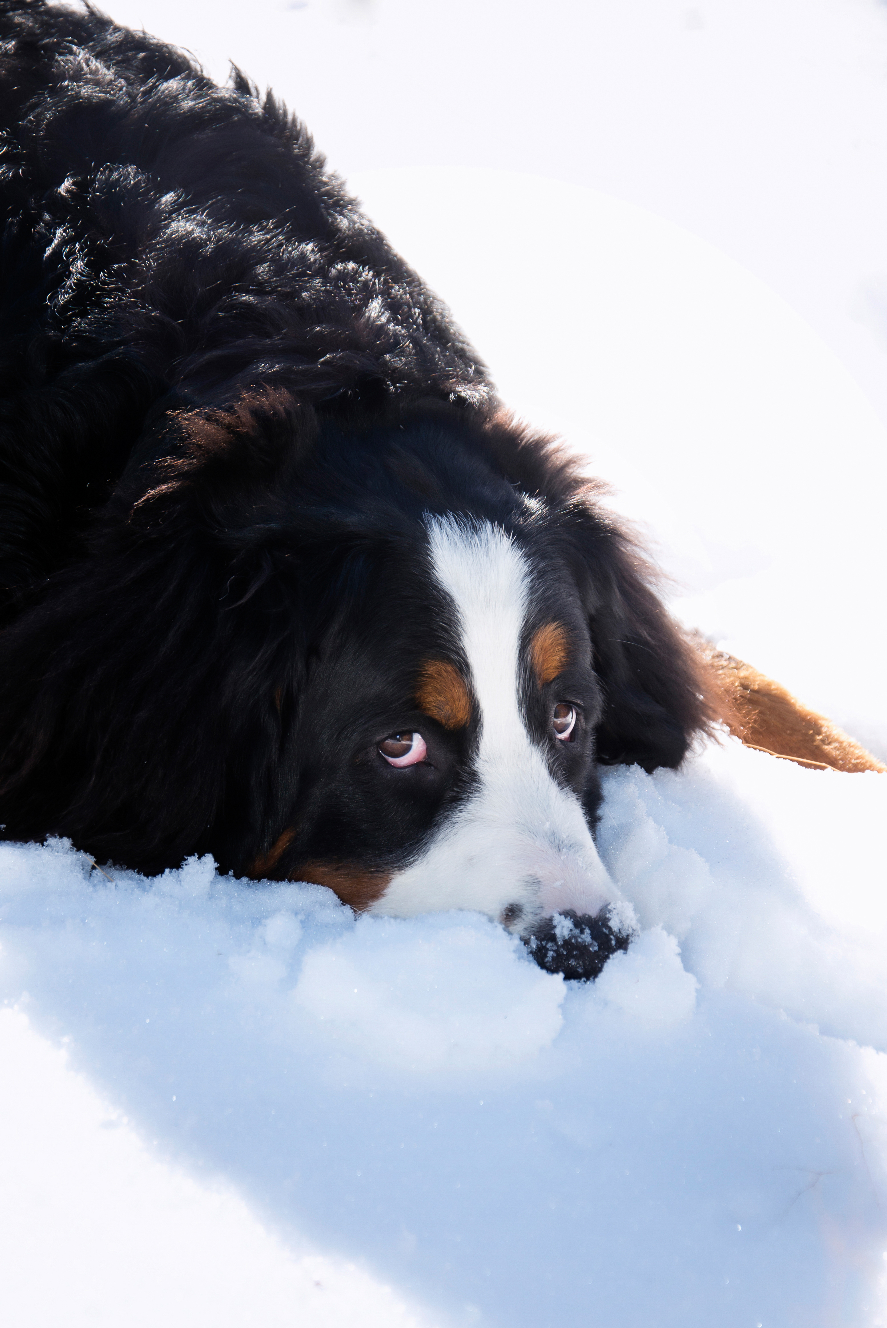 Nose in the Snow