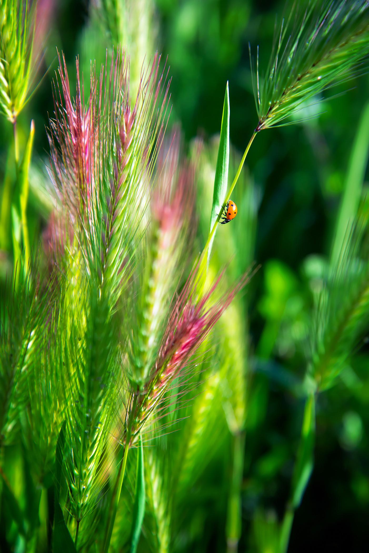 ladybug on wild rye