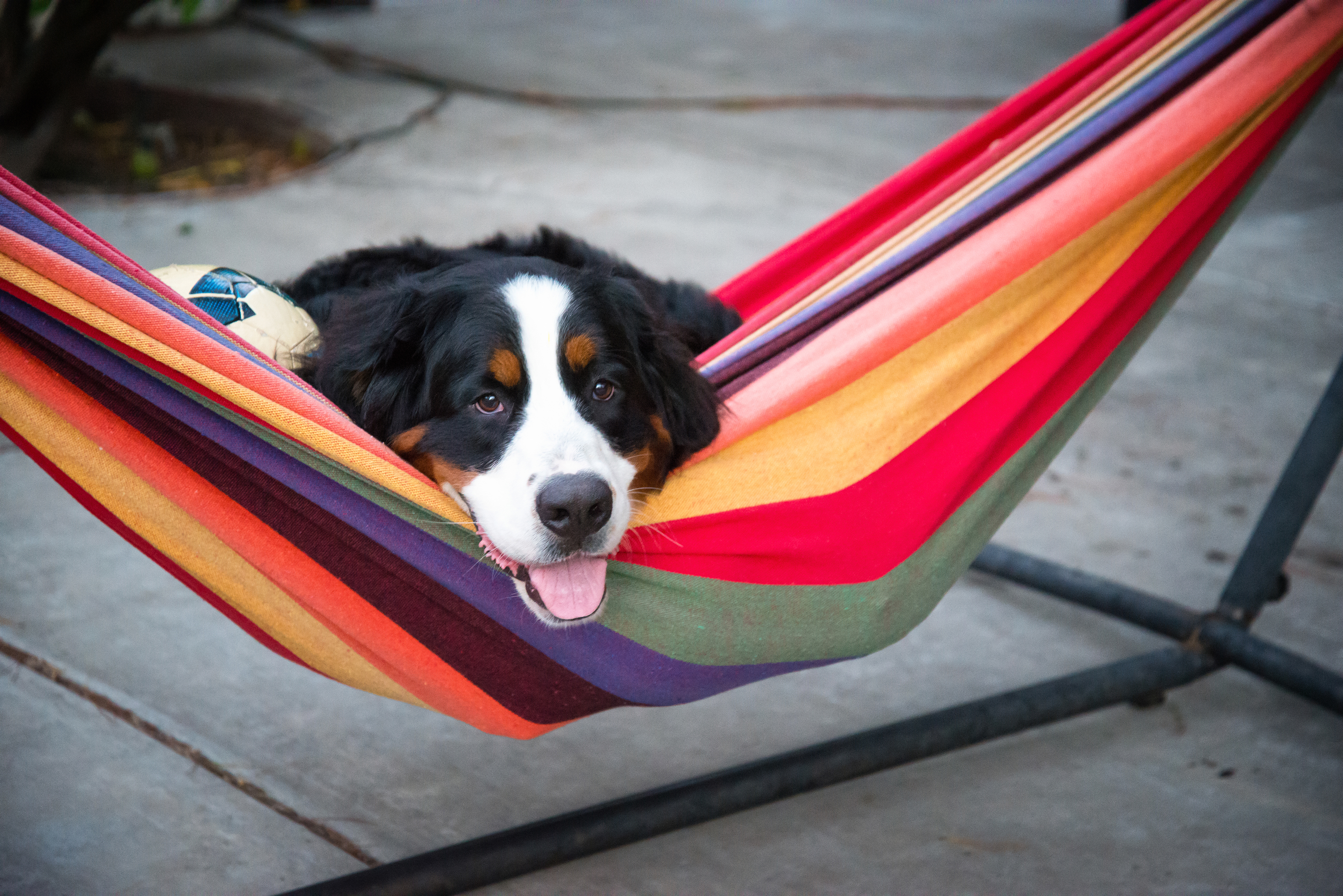 Doggy in a Hammock