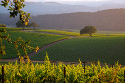 A Napa Valley Vineyard 2