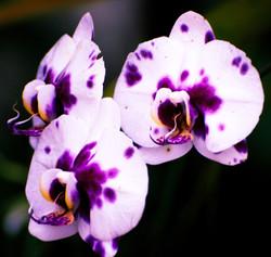 Spotted Harlequin Phalaenopsis