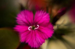 Dianthus Deltoid-Pink Maiden I.jpg