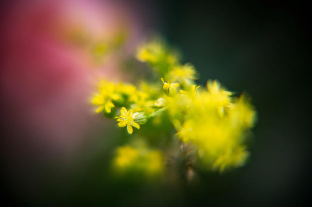 Yellow Baby's Breath.jpg