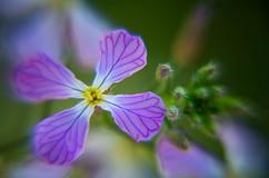 Spring Flower Macro-Wild Radish Flower-2.jpg