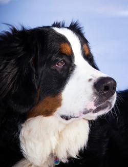Beautiful Berner