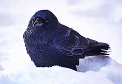 Snow Crow.jpg