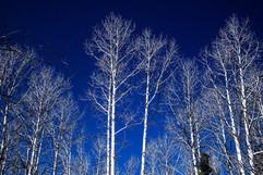 Bare White Branches.jpg