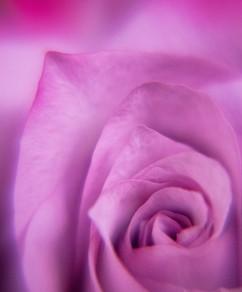 Spring Flower Macro-Rose-3.jpg