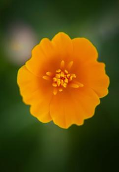 Spring Flower Macro-Golden Poppy-2.jpg