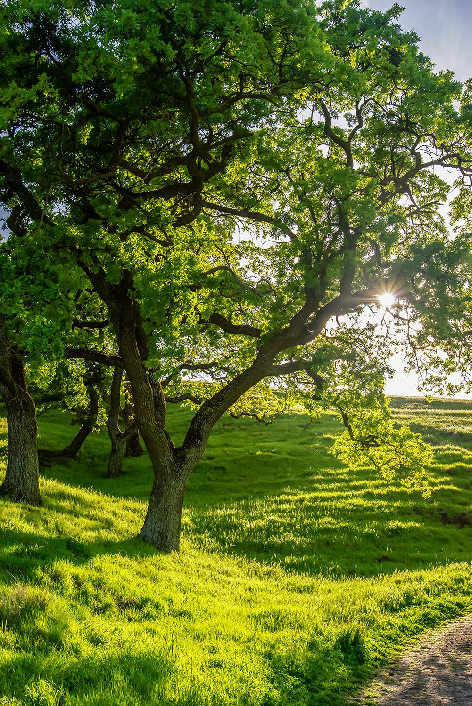 Oak at Shell Ridge