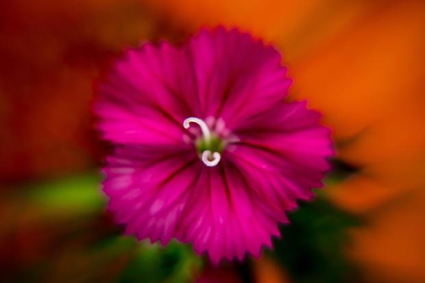 Dianthus Deltoid-Pink Maiden III.jpg