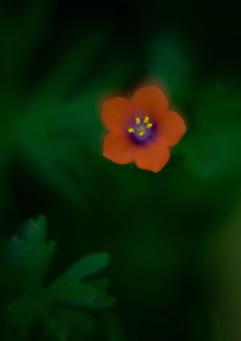 Spring Flower macro-Scarlet Pimpernel-2.jpg