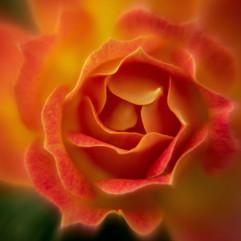 Spring Flower Macro-Rose-4.jpg